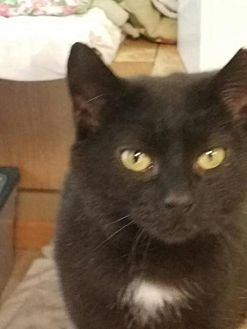 Domestic Shorthair Cat for adoption in Jenkintown, Pennsylvania - Midnight - special needs girl