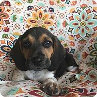 Adopt A Pet :: Vincent - Russellville, KY