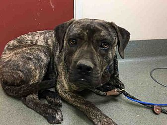 Mastiff Mix Dog for adoption in Beverly Hills, California - Barry #A1782693