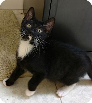 Domestic Shorthair Kitten for adoption in Randolph, New Jersey - Alex - super sweet
