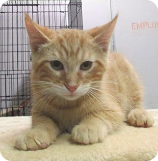 Domestic Shorthair Kitten for adoption in Reeds Spring, Missouri - Scout