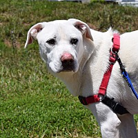 Adopt A Pet :: Bentley - Manassas, VA