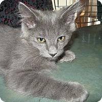 Domestic Mediumhair Kitten for adoption in Fallon, Nevada - Rocky