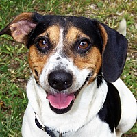 Adopt A Pet :: Shorty - Sparta, KY