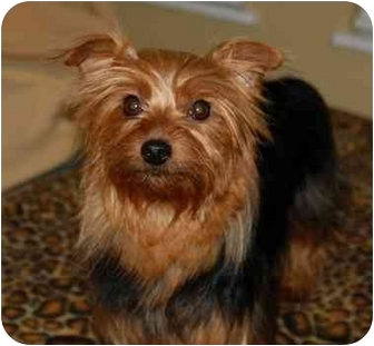 Yorkie, Yorkshire Terrier Dog for adoption in Statewide and National, Texas - Ginger-NC
