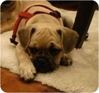 Pug/Beagle Mix Puppy for adoption in Windermere, Florida - Spanky