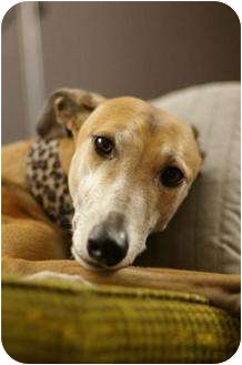 Greyhound Dog for adoption in Tucson, Arizona - Roxy/Brita