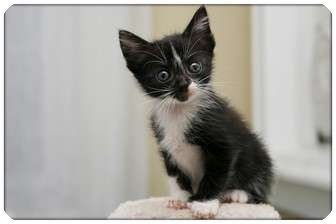 Domestic Shorthair Kitten for adoption in Sterling Heights, Michigan - Adele - ADOPTED!