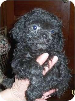 Pekingese/Cocker Spaniel Mix Puppy for adoption in Washburn, Missouri - Curly