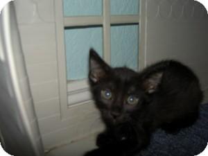 Domestic Shorthair Kitten for adoption in Gilbert, Arizona - Reggie