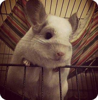 Chinchilla for adoption in Patchogue, New York - Mildred