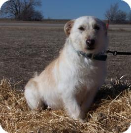 Terrier (Unknown Type, Medium) Mix Dog for adoption in Larned, Kansas - Benji