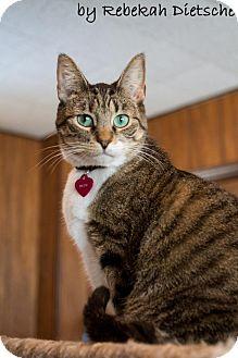 Domestic Shorthair Cat for adoption in Byron Center, Michigan - Drew