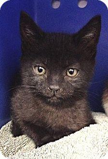 Domestic Shorthair Kitten for adoption in Dublin, California - Darth Molly