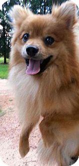Pomeranian Mix Dog for adoption in Lebanon, Connecticut - Dino
