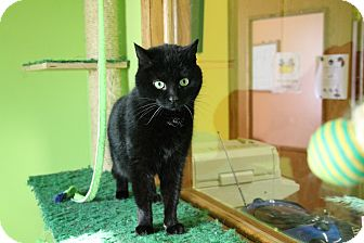 Domestic Shorthair Cat for adoption in Hibbing, Minnesota - Kylee