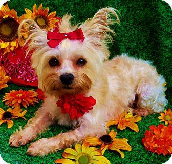 Yorkie, Yorkshire Terrier/Cairn Terrier Mix Dog for adoption in Irvine, California - Sandra Dee