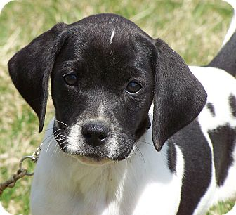 Treeing Walker Coonhound/Border Collie Mix Puppy for adoption in Milford, New Jersey - Starr