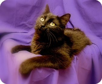 Domestic Longhair Cat for adoption in Richmond, Virginia - Patrice