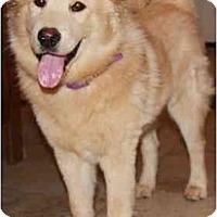 Adopt A Pet :: Downing - Gilbert, AZ