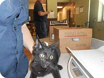 Domestic Mediumhair Kitten for adoption in Indianapolis, Indiana - BO