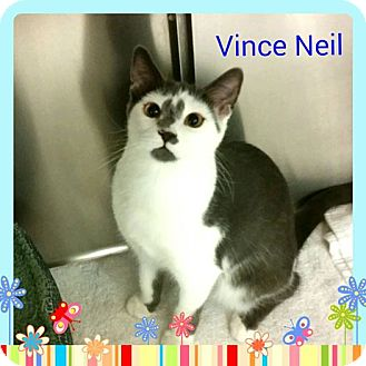 Domestic Shorthair Kitten for adoption in Newnan, Georgia - Vince Neil