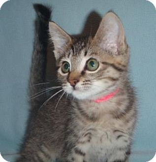 Domestic Shorthair Cat for adoption in Vancouver, Washington - Venus