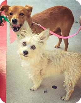 Terrier (Unknown Type, Small) Mix Dog for adoption in Mead, Washington - Sparkey