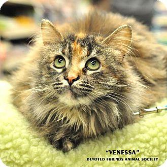 Domestic Longhair Cat for adoption in Ortonville, Michigan - Vanessa