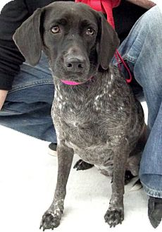German Shorthaired Pointer/Hound (Unknown Type) Mix Dog for adoption in Sterling Heights, Michigan - Pinta