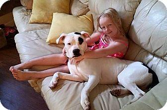 Boxer/American Bulldog Mix Dog for adoption in CHICAGO, Illinois - WHEELER