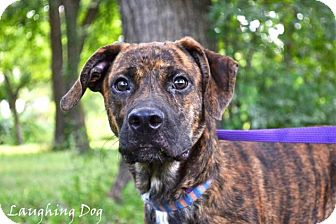 Black Mouth Cur/Boxer Mix Dog for adoption in Stillwater, Oklahoma - Tigger