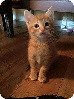 Domestic Shorthair Kitten for adoption in Hamilton, Ontario - Dandelion