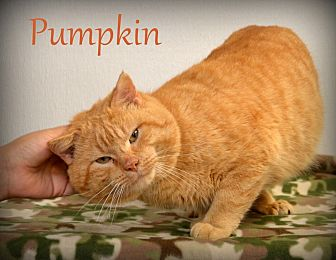 Domestic Shorthair Cat for adoption in Chicago, Illinois - Pumpkin