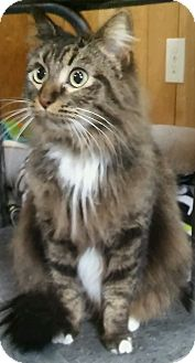 Norwegian Forest Cat Cat for adoption in Witter, Arkansas - Addie (Norwegian Forest Cat)