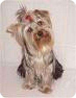 Yorkie, Yorkshire Terrier Dog for adoption in DeLand, Florida - JONAH