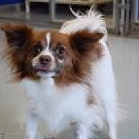 Chihuahua Dog for adoption in Mount Gretna, Pennsylvania - Tinka