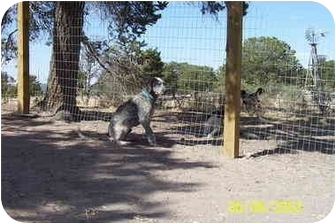 Blue Heeler/Hound (Unknown Type) Mix Dog for adoption in Pie Town, New Mexico - SNOOPY