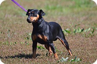 Doberman Pinscher Dog for adoption in Lebanon, Missouri - Sadie
