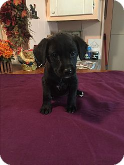 Border Collie/Labrador Retriever Mix Puppy for adoption in Kittery, Maine - Lena