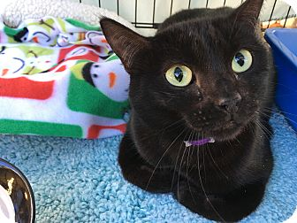 Domestic Shorthair Cat for adoption in Foothill Ranch, California - Nene