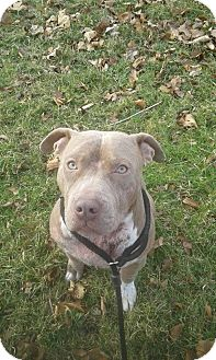 Pit Bull Terrier Mix Dog for adoption in Indianapolis, Indiana - Otto Joseph