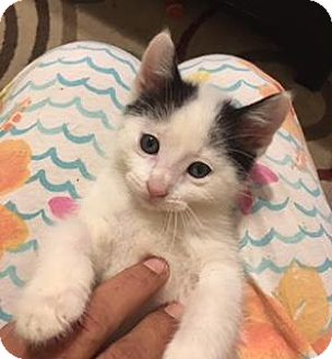 Turkish Van/Domestic Shorthair Mix Cat for adoption in Santa Fe, Texas - Pip W