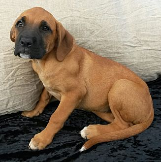 Boxer Mix Puppy for adoption in East Hartford, Connecticut - April