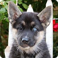 Adopt A Pet :: Ivy von Sequoia - Thousand Oaks, CA