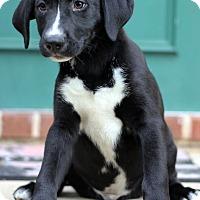 Adopt A Pet :: Pewter - Waldorf, MD