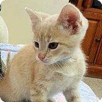 Adopt A Pet :: Pinto - Medina, OH