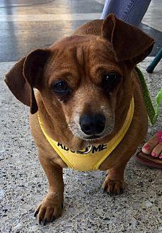 Chihuahua Dog for adoption in Long Beach, California - Cody