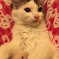 Domestic Longhair Kitten for adoption in Butner, North Carolina - Bambi