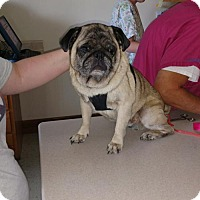 Pug Dog for adoption in Poland, Indiana - Walter - Adoption pending